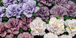 Wild Orchid Crafts Carnations Mixed Purple/Lilac